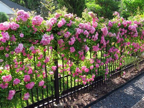 tips on planting quot climbing roses quot on a rose trellis my seven tips for growing climbing roses romantic rose and