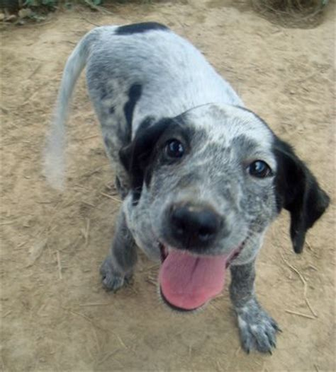 blue heeler lab mix puppies for sale image gallery lab heeler mix