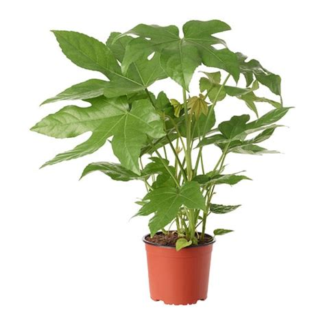 ikea vasi piante fatsia japonica pianta da vaso ikea