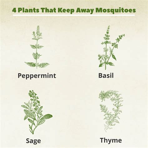 what plants keep mosquitoes away 4 plants you can grow today to keep mosquitoes away the