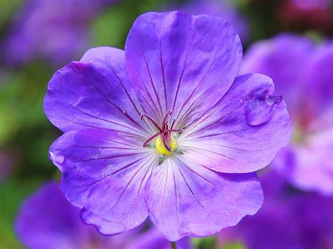 flowers bloom violet is february s flower flower blog