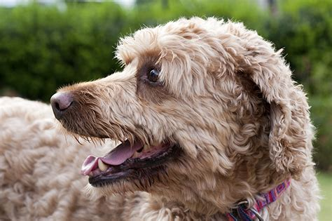 doodle span labradoodle breed information pictures