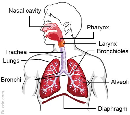 images of the respiratory system structure of the human respiratory system explicated with