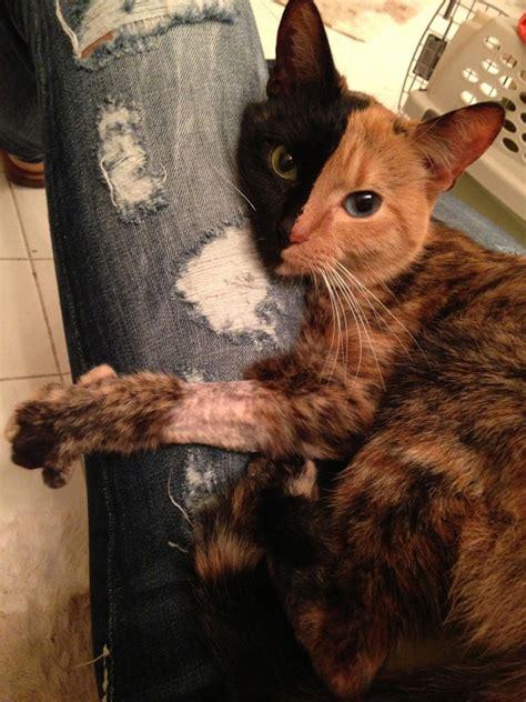 meet venus  mysterious  faced cat