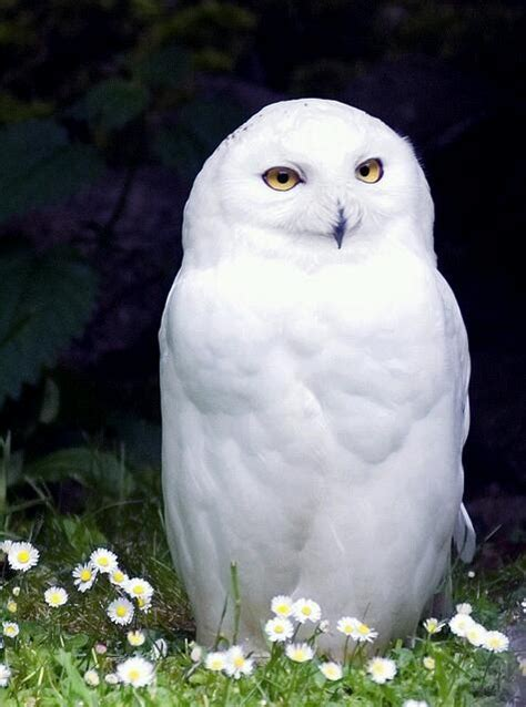 snowy owl white critters pinterest