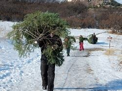 the denver colorado area christmas tree farms choose and