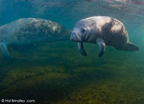 comforting manatee hal brindley wildlife photography 187 swimming with mermaids