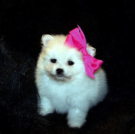 pomeranian with bow my beautiful white poms to a breeder and will never sell one of my white pomeranians