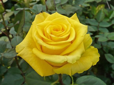 www rose yellow roses archives virgin farms