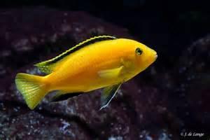 Cichlidae Labidochromis Labidochromis caeruleus   Yellow Lab