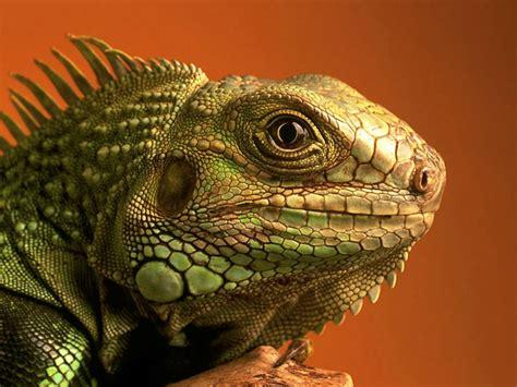 lizard medicine doowans newsevents