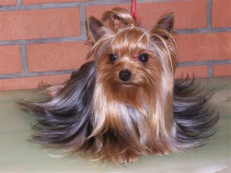 yorkie puppy bellos terrier fotos e im 225 genes en fotoblog x
