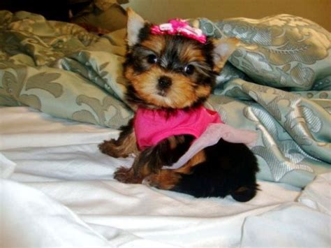 trained puppies for adoption potty trained yorkie puppies for adoption annapolis maryland pets for sale classified