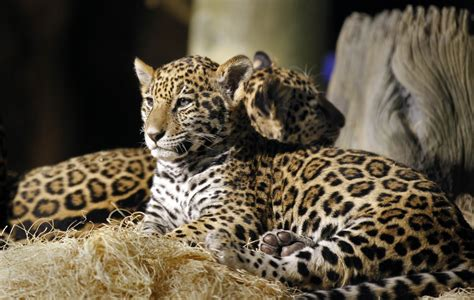 Names For Jaguars Baby Jaguars Are Named At The Zoo 187 Gagdaily News