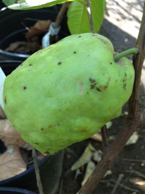 apple tree bandung giant asian white guava grow at the best exotic nursery
