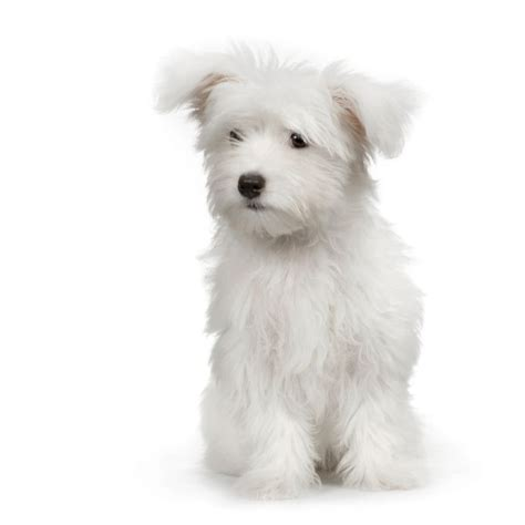 Do Haired Dogs Shed by Dogs That Don T Shed Thanks To Their Silky Hair And Lack Of An Undercoat Maltese Shed