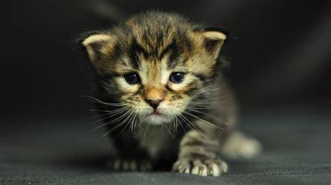 kitty kat themes free cat screensavers free download free moving
