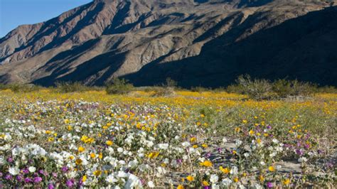 anza borrego wildflowers 2017 record wildflower season possible in anza borrego desert times of san diego