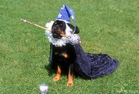 costumes for rottweilers the real looking dogs worced