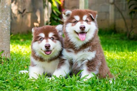 how much do samoyed puppies cost alaskan malamute price range how much is an alaskan malamute puppy