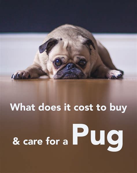 how much does a pug cost uk how much do puppy injections cost uk 4k wallpapers