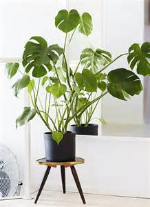 plants indoor monstera deliciosa design lovin