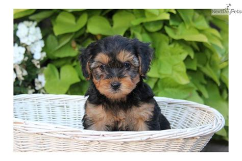 yorkie poo breeders in pa yorkie poo puppies yorkie poo puppies for sale pennsylvania yorkiepoo breeds picture