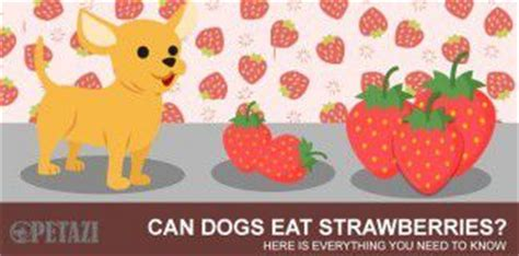 are strawberries bad for dogs petazi an useful every pet lover must read