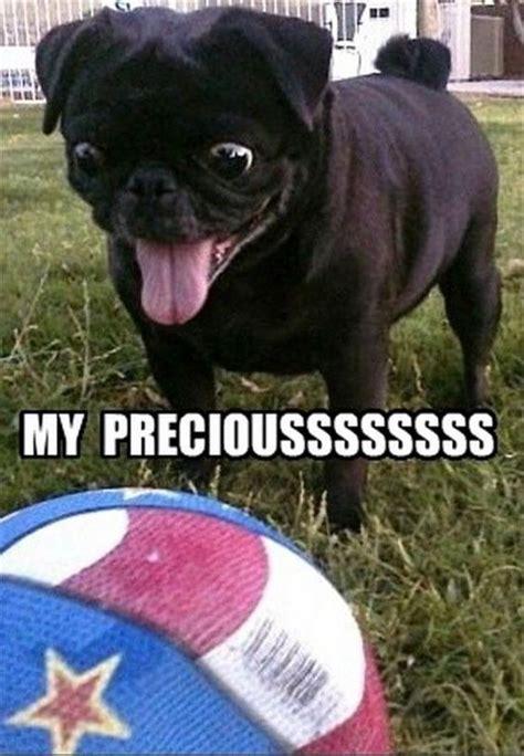 precious pugs precious pug pictures quotes memes jokes