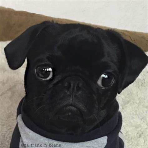 what age do pugs live to social pug profile frank the pug diary