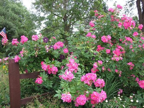 flowering shrub flowering shrubs and roses palmiters garden nursery