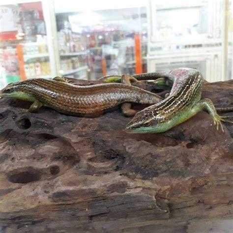 kadal hijau tak sebanyak kadal tanah nama nama hewan