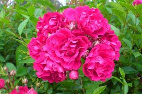 imagenes de flores juntas rosal silvestre y joven 191 cu 225 nto tiempo hasta d 233 flores
