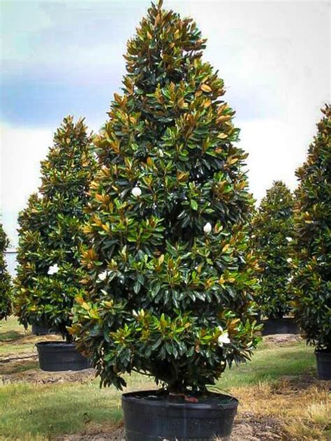 southern magnolia trees for sale 28 images buy
