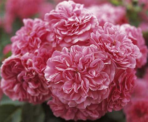 2070323080 les quatre saisons de ronsard розы меян meilland обсуждение на liveinternet