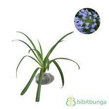 Agapanthus Biru jual tanaman agapanthus bibitbunga