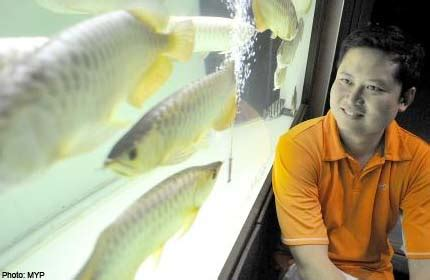 Bibit Arwana Golden dragonfish now a hit with buyers