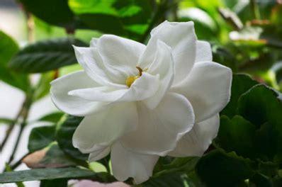 frost proof gardenia shrub white flowering shrubs