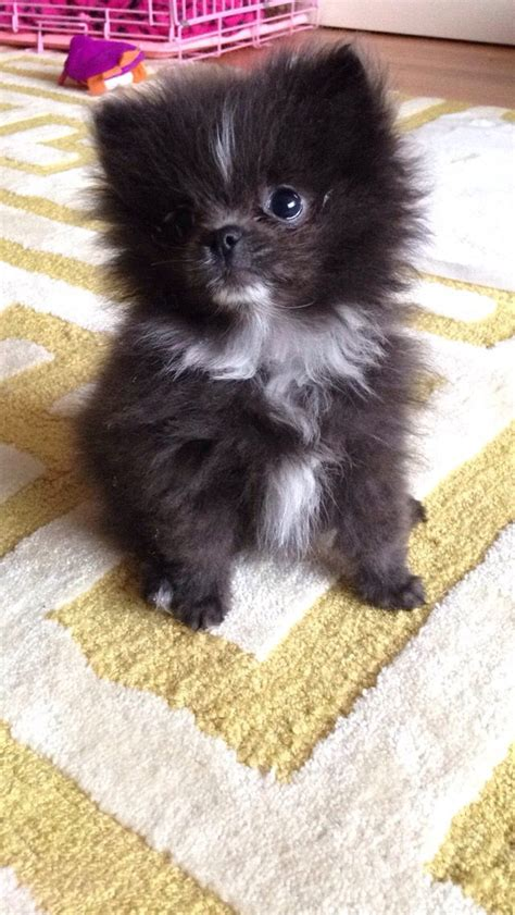 blue teacup pomeranian blue grey pomeranian puppy pomeranian names and pictures teacup