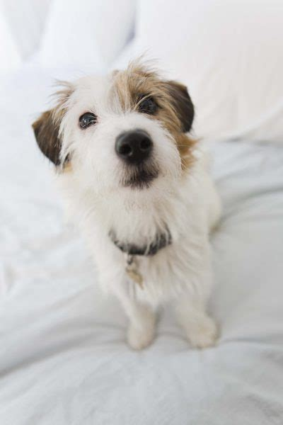 haircut ideas for long hair jack russell dogs how to groom a wire haired parson russell terrier pets