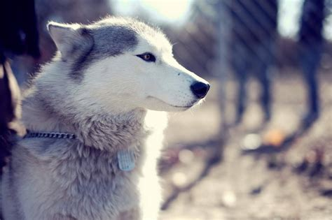 wallpaper husky husky wallpaper 44 husky wallpaper