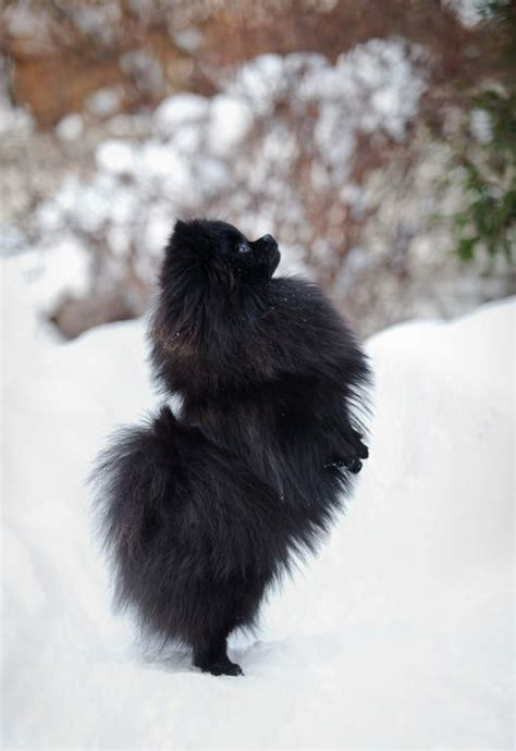 what were pomeranians bred for pomeranian dogs breed information omlet