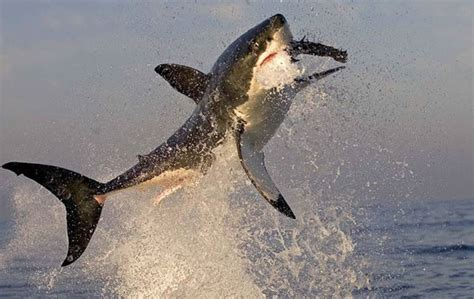 dive with sharks in south africa fly fighter jets more flying great white sharks one day tour seal island false