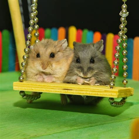 hamster swing two tiny hamsters spend the day playing together at a tiny