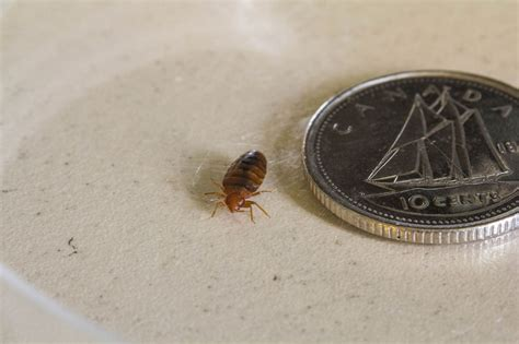 Is It Possible To Only One Bed Bug by How To Prevent Bed Bugs Bed Bug Guide