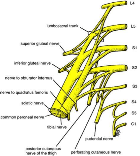 sciatic nerve diagram sciatic nerve causes symptoms and treatment