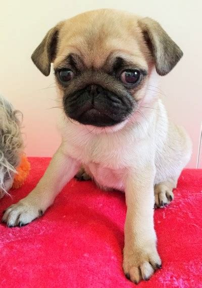 pugs for sale in brighton pug puppy available now brighton east sussex pets4homes