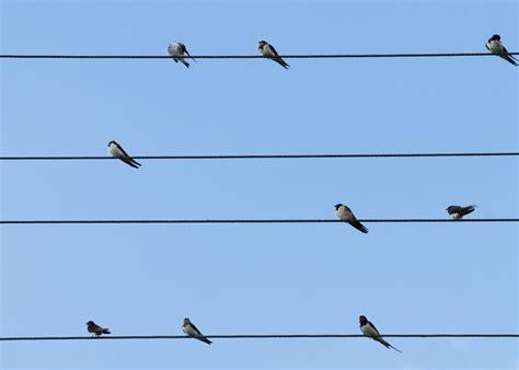 immagini di sedere foto gratis uccelli rondini linee sedere immagine