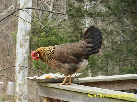 backyard poultry notice board pam s backyard chickens fridays with backyard chickens at