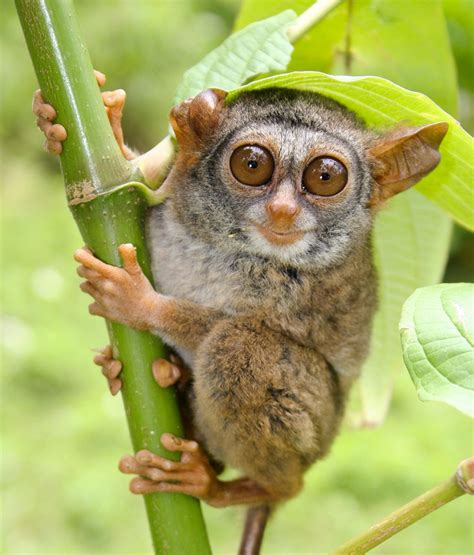 Indonesia Only One critically endangered siau island tarsier tarsius